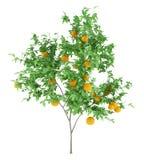 Orange tree with oranges isolated on white. Background vector illustration