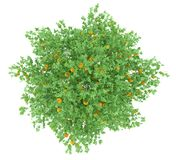 Orange tree with oranges isolated on white Royalty Free Stock Images