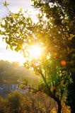 Orange tree. Oranges in the morning sun royalty free stock images