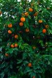 Orange tree and oranges. Orange tree and fresh oranges stock image