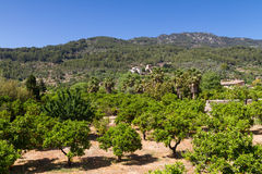 Orange tree orchard at Fornalutx. Mallorca, Baleares, Spain Royalty Free Stock Image