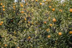 Orange tree orchard. S filled with fruit in the Algarve, Portugal Royalty Free Stock Photos