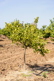 Orange tree in orchard. Sunlight, spring time royalty free stock photography
