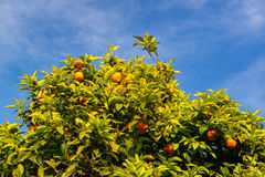 Orange tree on the Palatine Hill in Rome Stock Photography