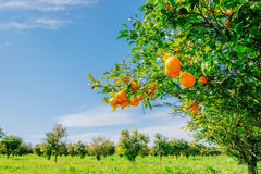 Orange -  tree  Park Royalty Free Stock Photo
