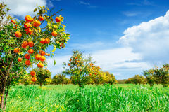 Orange -  tree  Park Stock Photography