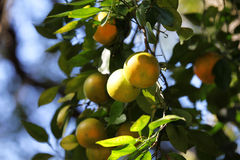 Orange tree. In a park in Florida Stock Photography