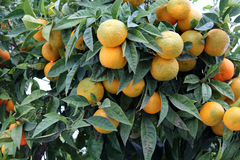 Orange in tree Royalty Free Stock Photography