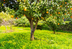 Orange tree in Portugal Royalty Free Stock Photo