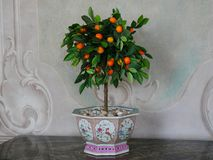 Orange tree in a pot. An orange tree in beautiful painted plant pot in baroque interior Stock Photo