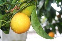Orange tree Stock Image