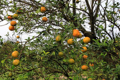 The orange tree Royalty Free Stock Images