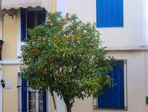 Orange tree with ripe fruit in front of colorful windows and doors on street in Athens Greece.  royalty free stock image