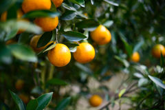 Orange tree with ripe fruit in the garden Stock Photography