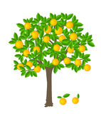 Orange tree. With ripe fruits on it Royalty Free Stock Photos