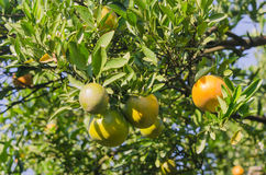 Orange tree with ripe fruits Royalty Free Stock Photography