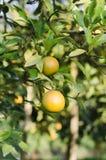 Orange tree with ripe fruits Stock Image