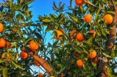 Orange tree with ripe fruits. Stock Photo