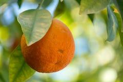 Orange tree with many ripe orange fruits ready to harvest. Orange tree with ripe orange fruits ready to harvest Royalty Free Stock Images