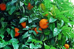Orange tree with ripe fruits in Rome city Royalty Free Stock Photo