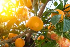 Orange tree with ripe fruits. In sunlight royalty free stock photo