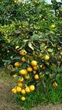Orange tree with ripe fruits Royalty Free Stock Images