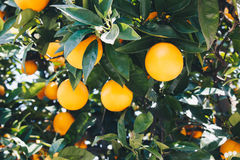 Orange tree with ripe fruits Royalty Free Stock Photos