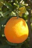 Orange tree with ripe orange fruit Royalty Free Stock Photo