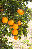 Orange tree with ripe orange fruit Royalty Free Stock Photography