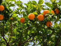 Orange tree with ripe oranges fruits in sunlight. Bottom view