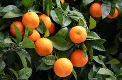 Orange tree with ripe oranges-horizontal Royalty Free Stock Photos