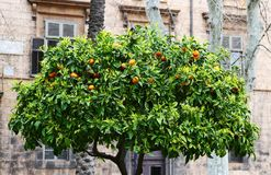Orange tree in a park. Orange tree with ripe oranges in a Palermo park, Sicily stock images