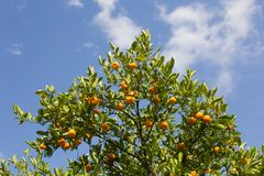 Orange tree. With ripe oranges, photographed against the blue cloudy sky Royalty Free Stock Photos