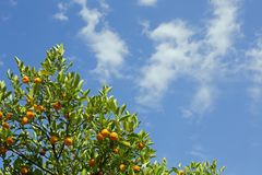 Orange tree. With ripe oranges, photographed against the blue cloudy sky Royalty Free Stock Photo