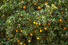 Orange tree. With ripe oranges in a plantation in South Africa Stock Photography