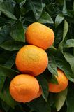Orange tree with ripe oranges-vertical Royalty Free Stock Photos