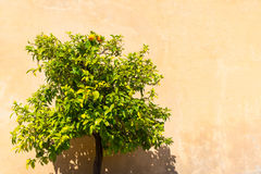 Orange tree in the Roman Forum Royalty Free Stock Photo