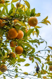 Orange tree. An orange tree with several of these fruits Stock Photos