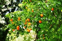 Orange tree Royalty Free Stock Images