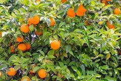 Orange tree at Sicilian Island Royalty Free Stock Images