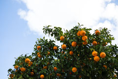 Orange tree. On the sky background Royalty Free Stock Photo