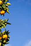 Orange tree with sky background Royalty Free Stock Images