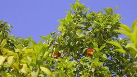 Orange tree and sky. stock footage