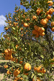 Orange tree. Orange on some orange trees Stock Image