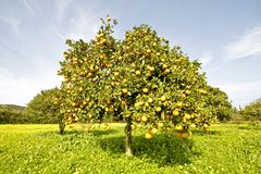 Orange tree in springtime full of oranges Royalty Free Stock Images