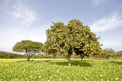 Orange tree in springtime full of oranges Royalty Free Stock Photos
