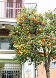Orange tree on a street. Stock Photos