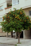 Orange tree on the street, Cyprus Royalty Free Stock Images