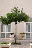 An orange tree in a street in Italy Stock Images