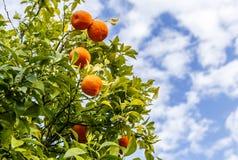 Orange tree in the street of Milan Stock Images